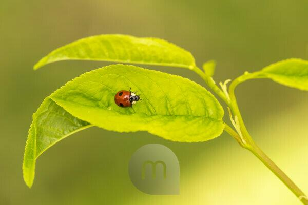 Ladybird on a leaf, vivid green background