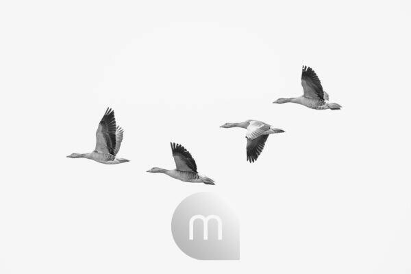 four greylag geese, Anser anser on the wing