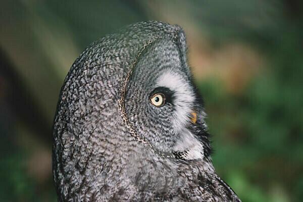 Portrait of a great grey owl,