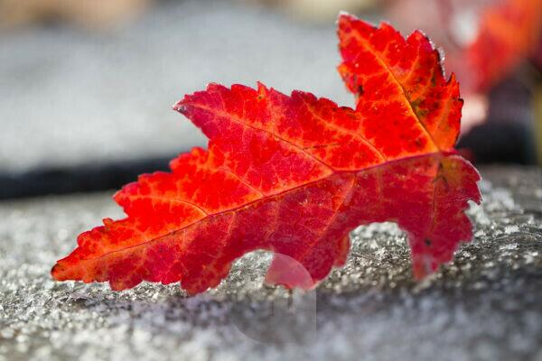 Frosty Red Leaf