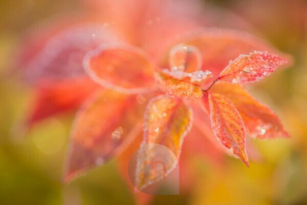 Orange frost leaves on natural background, bright color