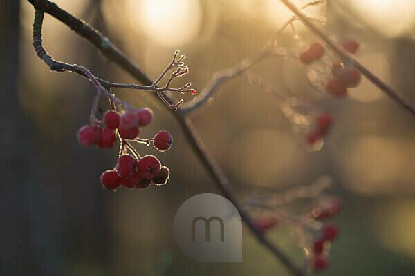 Frozen rowan berries in sunlight backlit, bokeh background