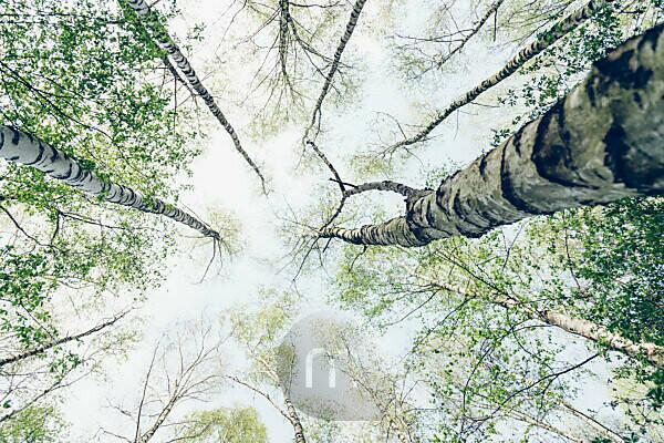Birches in the spring sky,