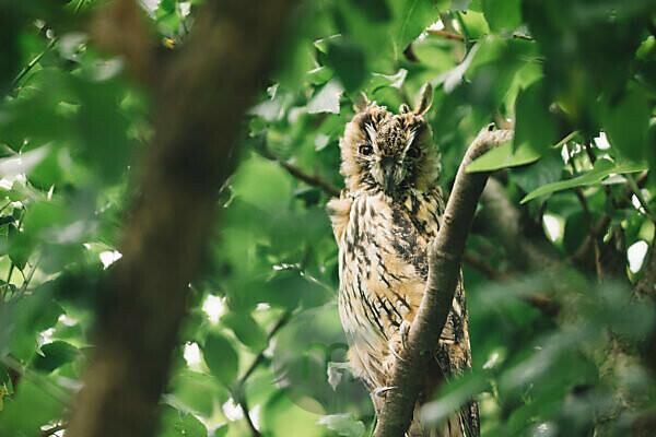 Long-eared owl in a tree,