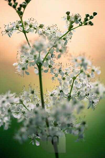 Inflorescence of the true meadowsweet, Filipendula ulmaria, close-up,