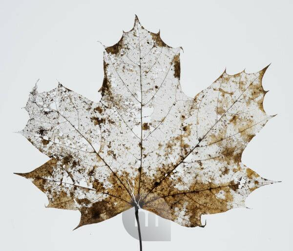 dried up maple leaf with holes and flaws in front of white background