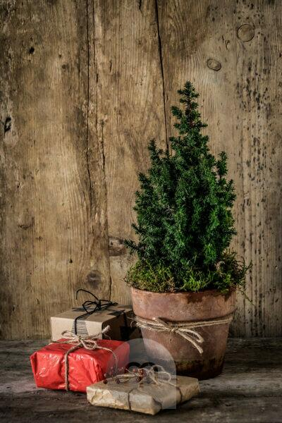 Christmassy still life with a small Christmas tree in the terrakotta pot and presents in front of a wooden wall