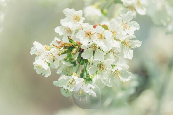Spring magic, close-up of white cherry flowers with blurred background