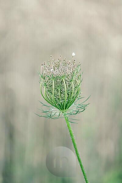 Close-up Blüte einer Wilden Möhre vor unscharfem Hintergrund