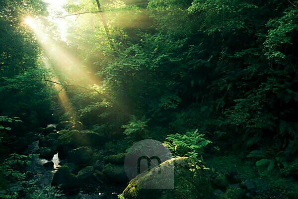 Wald mit Wasserlauf und göttlichen Strahlen bei den Cranny Falls, Antrim, Nordirland