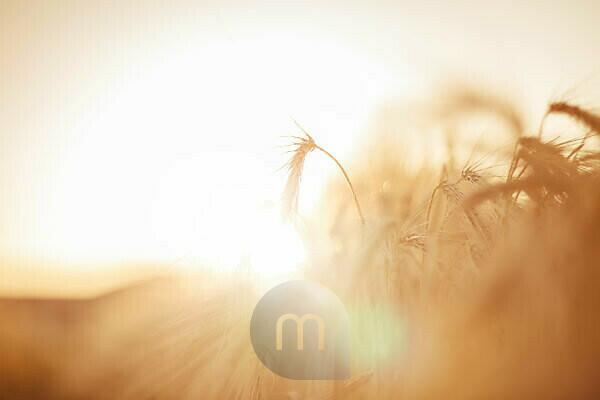 Barley backlit