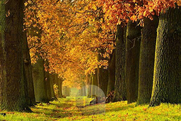 Deutschland, Sachsen-Anhalt, Magdeburger Börde, Eichenallee im Herbst, Morgenlicht