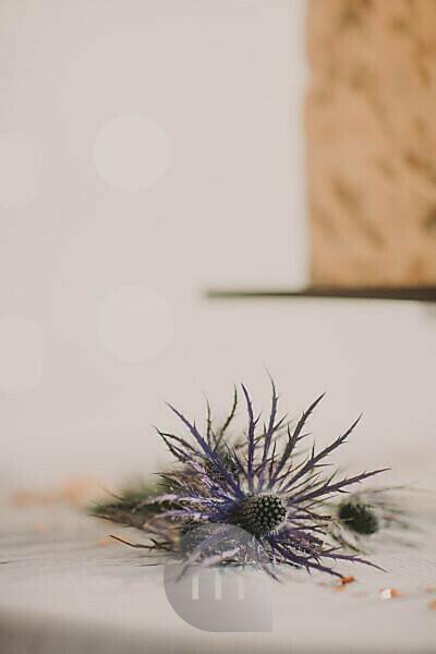 Table, blue thistle, blur,