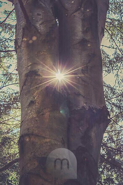 zwei Baumstämme, Sonne, Gegenlicht