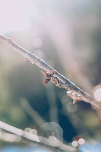 Zweig, Knospen, Gegenlicht