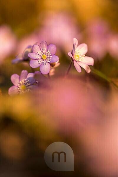 Hepatica, Hepatica nobilis, blur,