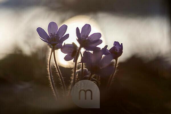 Leberblümchen Hepatica nobilis im Gegenlicht der untergehenden Sonne
