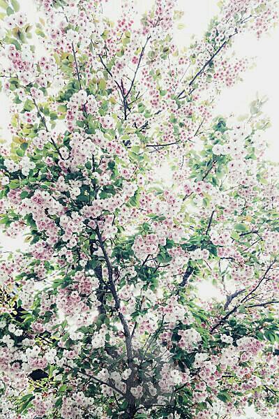 Blühender Baum, rosa Blüten