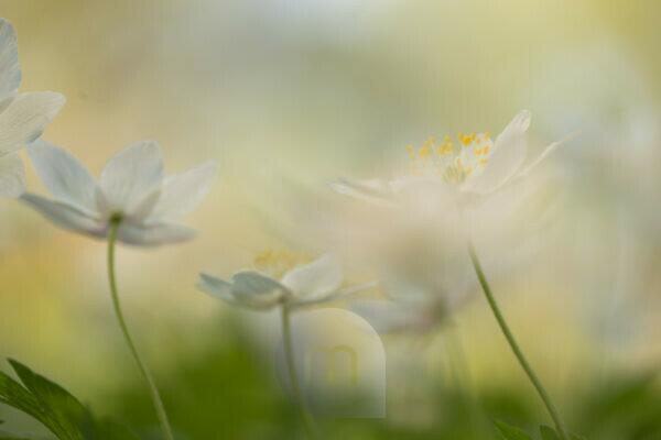 Close-up of wood anemones, Anemone nemorosa, spring scene