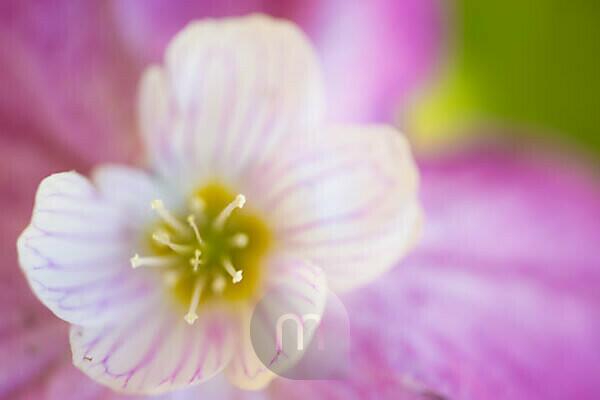 Common wood sorrel flower, Oxalis acetosella