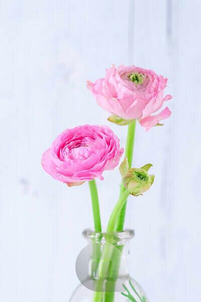 Zwei rosa Ranunkeln in einer Glasvase