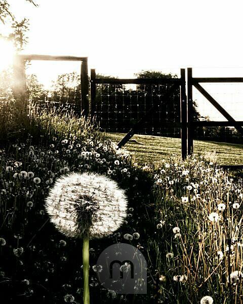 Field full of dandelions in backlight with gate