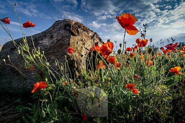 Mohnblumen im Frühling bei Fleury d'Aude