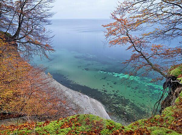 Europa, Deutschland, Mecklenburg-Vorpommern, Insel Rügen, Nationalpark Jasmund, UNESCO-Weltnaturerbe Europäische Buchenwälder, abkippende Rotbuche an der Steilküste, freihängende Wurzeln