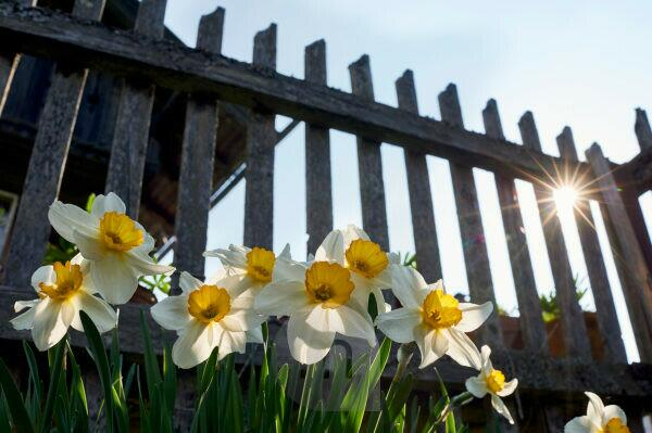 Daffodils in the back light in front of wooden garden fence and farmhouse