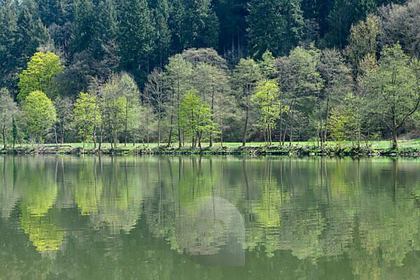 Forest in spring with river neckar, Zwingenberg, River Neckar, Neckar Odenwald District, Baden-Württemberg, Germany