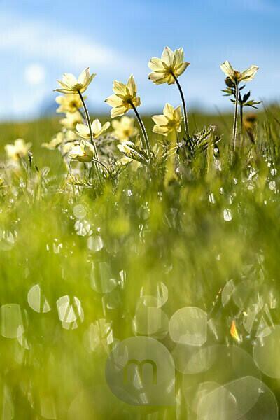 Europe, Italy, Bolzano, South Tyrol, Alpe di Siusi - Seiser Alm, Pulsatilla alpina flowers