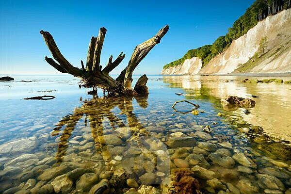 Deutschland, Mecklenburg-Vorpommern, Insel Rügen, Nationalpark Jasmund, Kreidefelsen, Baumstamm im Wasser der Ostsee