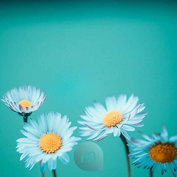 Nahaufnahme mehrerer Gänseblümchen in Blau,