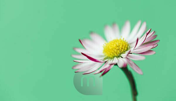 Nahaufnahme eines Gänseblümchens in Grün,