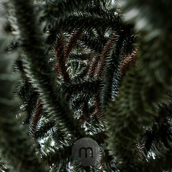 Ein Streifzug mit der Kamera durch den sommerlichen Garten, Nahaufnahme einer Araukarie