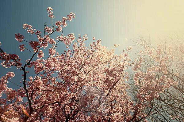 Springtime, cherry tree in full bloom in the sunshine