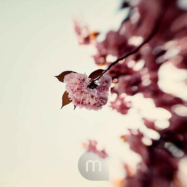 Springtime in Bielefeld, flowering branch, sunshine