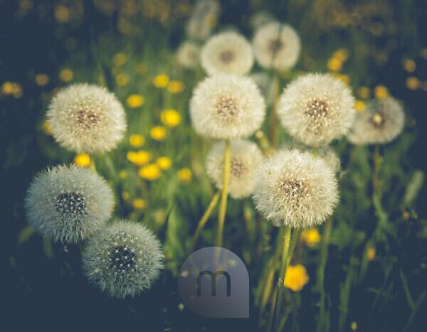 Dandelion seed heads in a meadow