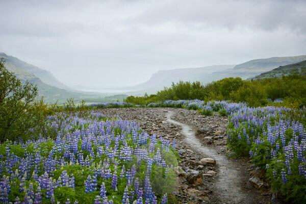 Island, Lupinenfelder im Sommer
