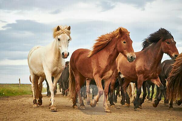 Icelandic horses running in a herd