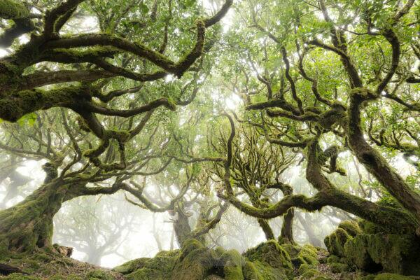 Portugal, Madeira,d, UNESCO-world heritage, fog, path, grove, tree, moss, mystical, magical, landscape, green