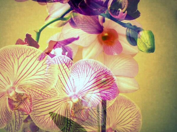 Orchids, blossoming, yellow, pink, violet