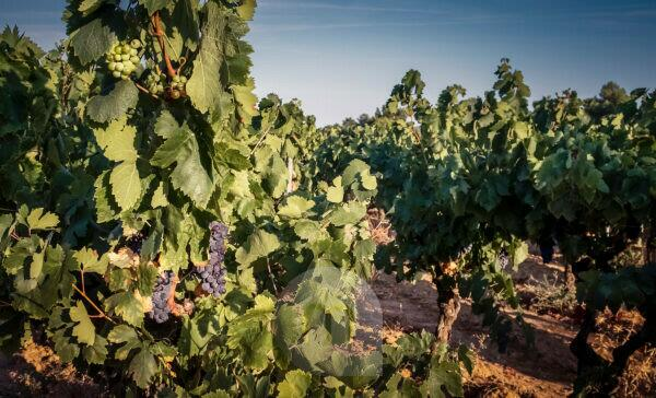 Grapevines, summer, La Clape Limestone Massif, Aude Department, Occitanie Region, France