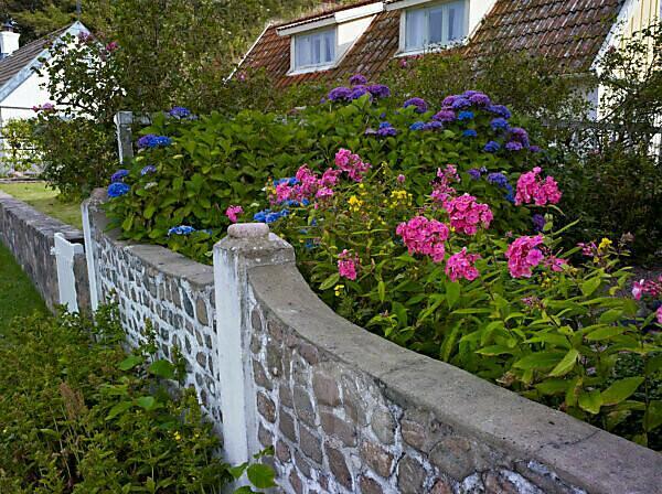 Sweden, Scania, Kullen Peninsula, Arild, garden with hydrangeas