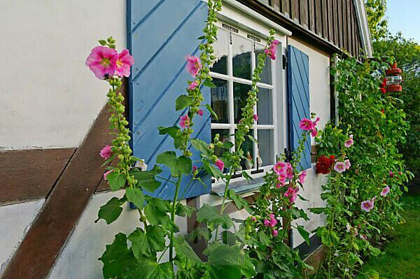 Schweden, Schonen, Halbinsel Kullen, Arild, Hausfassade mit Stockrosen