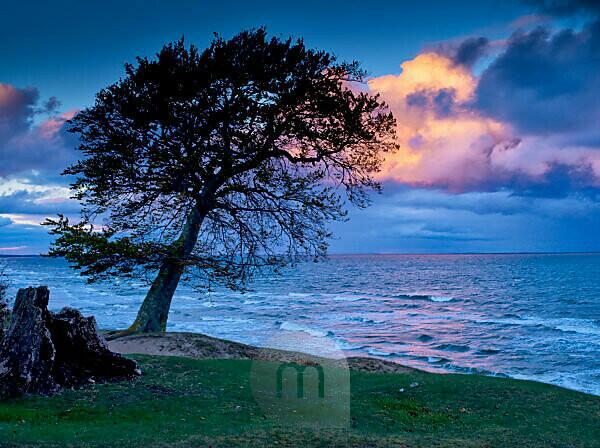 Sweden, Scania, Österlen, near Brösarp, coastal grazed grassland with old beech tree, rain clouds above the sea