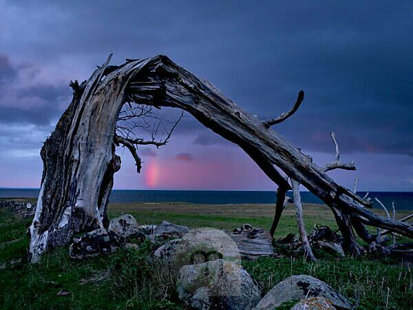 Schweden, Schonen, Österlen, Strandwiesen mit gebrochener Hutebuche bei Brösarp, Totholz, Regenbogen über dem Meer