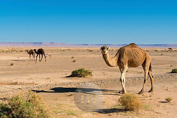 Morocco, High Atlas, High Plateau, Dromedaries, Camelus dromedarius