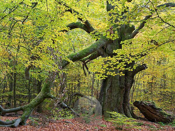Alte Buche im Herbst, Urwald Sababurg, Naturpark Reinhardswald, Hessen, Deutschland