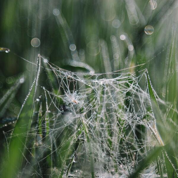Spider web with water drops, close-up
